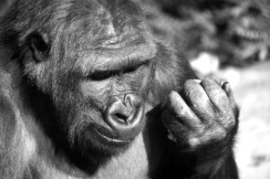 black-and-white-gorilla-1